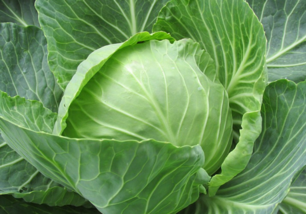 The Humble Cabbage